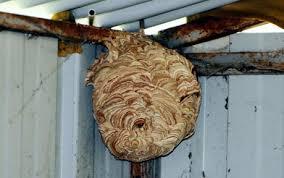 asian hornet secondary nest 2